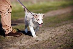 小狗博德牧羊犬 免版税库存图片