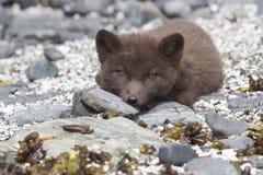小狗司令员蓝色白狐在岩石看 免版税库存照片