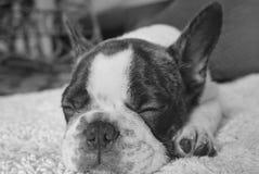小狗名为Okley 图库摄影