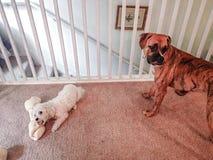 小狗和一条大狗 免版税图库摄影