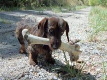 小狗和一根大骨头 图库摄影