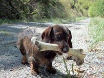 小狗和一根大骨头 免版税图库摄影