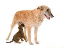 小狗和成人比利时牧羊犬laekenois 库存照片