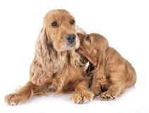 小狗和母亲猎犬 库存照片