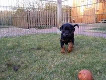 小狗和球 免版税库存图片