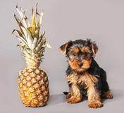 小狗和菠萝 免版税图库摄影