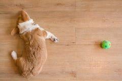 小狗和绿色球 库存图片
