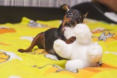小狗咬住在床上的白色玩具在一条黄色毯子 免版税图库摄影