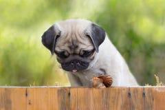 小狗哈巴狗观看爬行的蜗牛篱芭 免版税库存图片