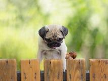 小狗哈巴狗观看爬行的蜗牛篱芭 免版税图库摄影