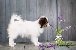 小狗嗅淡紫色 免版税图库摄影