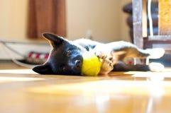 小狗嚼她的球 图库摄影