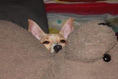 小狗在与女用连杉衬裤的床上 库存照片