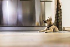 小狗在地板上说谎 免版税库存照片