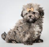 小狗在工作室 免版税图库摄影