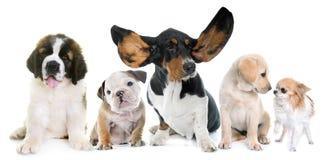小狗在工作室 免版税库存图片
