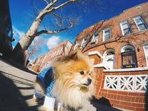 小狗在布鲁克林,纽约 图库摄影