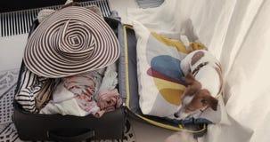 小狗在手提箱在 股票视频