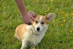 小狗在步行的小狗彭布罗克角 在步行的幼小精力充沛的狗 小狗教育, cynology,幼小狗密集的训练  结构 库存照片