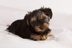 小狗在演播室特写镜头的约克夏狗 库存照片