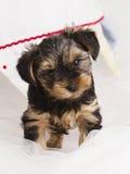 小狗在演播室特写镜头的约克夏狗 免版税库存照片