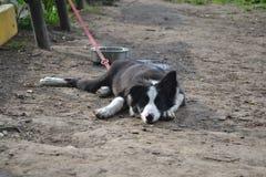 小狗在睡觉的博德牧羊犬 免版税库存照片