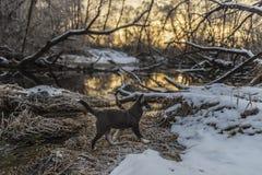 小狗在积雪的河岸走 免版税库存照片
