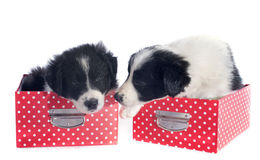 小狗在箱子的博德牧羊犬 免版税库存图片