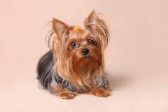 小狗在米黄背景的约克夏狗 免版税库存照片
