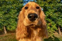 小狗在草的猎犬画象 免版税库存照片