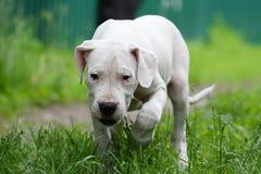 小狗在草的dogo argentino 免版税库存图片