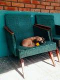 小狗在街道的一把椅子睡觉有在他的牙的一朵黄色花的 蒲公英 免版税库存图片