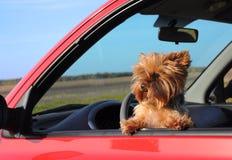 小狗在车窗里。 图库摄影