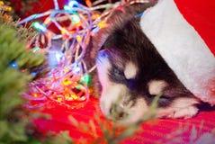 小狗坐在圣诞老人帽子的红色背景 库存图片