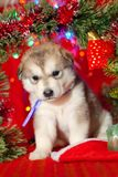 小狗坐在圣诞老人帽子的红色背景 免版税库存照片