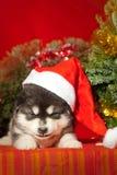 小狗坐在圣诞老人帽子的红色背景 免版税库存图片