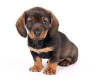 小狗坐的teckel 免版税库存图片