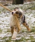 小狗培训 库存图片