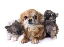 小狗奇瓦瓦狗和母亲 免版税库存照片