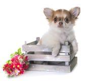 小狗奇瓦瓦狗在演播室 免版税库存照片