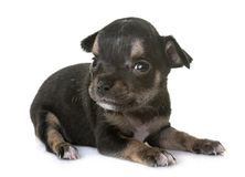 小狗奇瓦瓦狗在演播室 免版税库存图片