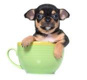 小狗奇瓦瓦狗在演播室 图库摄影