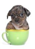 小狗奇瓦瓦狗在演播室 库存照片