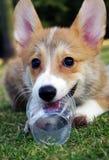 小狗威尔士 免版税库存图片
