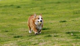 小狗威尔士 免版税图库摄影