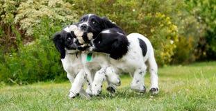 小狗娱乐时间,三个姐妹使用与一个残破的玩具 免版税图库摄影