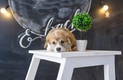 小狗小狗在一把椅子说谎在演播室 免版税库存图片
