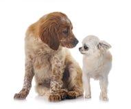 小狗布里坦尼西班牙猎狗和奇瓦瓦狗 库存图片