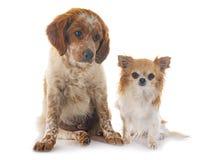 小狗布里坦尼西班牙猎狗和奇瓦瓦狗 图库摄影