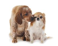 小狗布里坦尼西班牙猎狗和奇瓦瓦狗 免版税库存照片